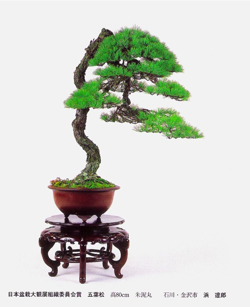 bunjin white pine