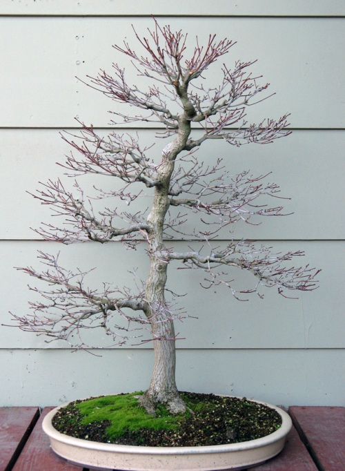 air-layer | Crataegus Bonsai