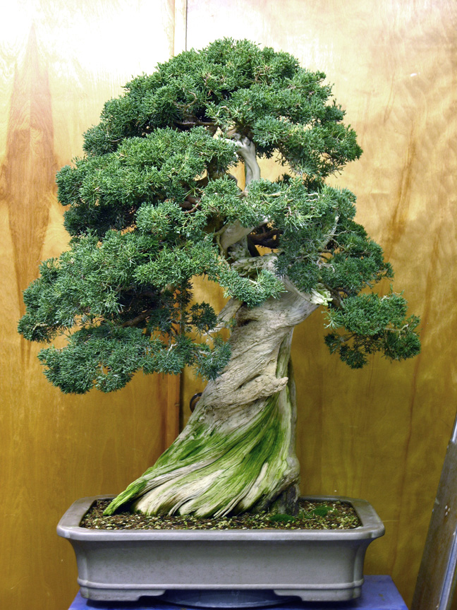 Pacific Rim juniper before