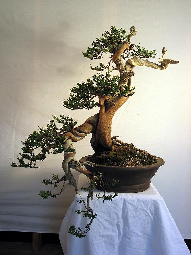 Unusual rocky mountain juniper styling crataegus bonsai for Unique bonsai trees