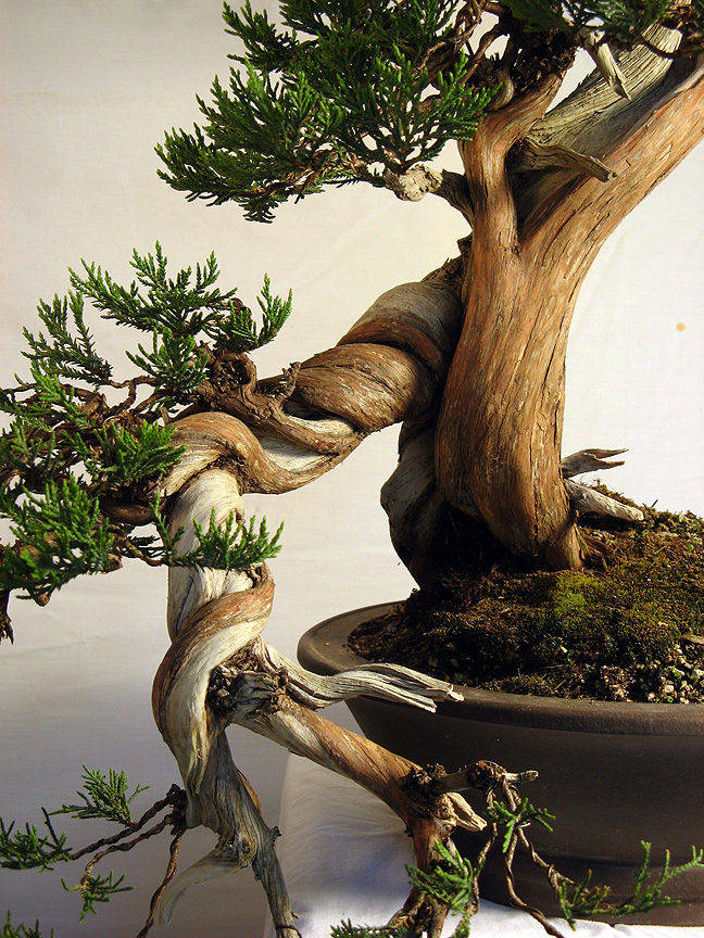 Bonsai tree unusual rocky mountain juniper styling for Unique bonsai trees