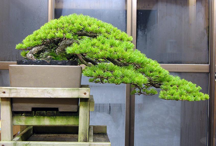Marvelous Kokufu White Pine Michael Hagedorn Wiring Cloud Pendufoxcilixyz
