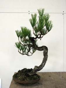 All black pine now, growing with wild abandon in 2010.