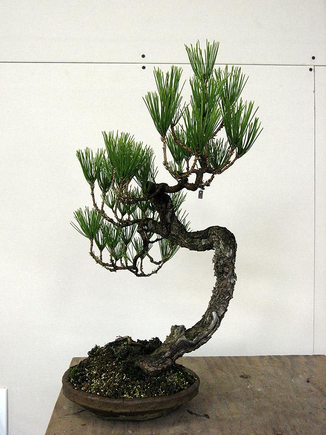 Astounding Black Pine Grafted Ponderosa Styled Michael Hagedorn Wiring Digital Resources Jebrpcompassionincorg