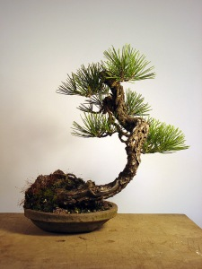 Repotted. I did not cut the candles last year, but will this year. I have found that candle cutting is the same on grafted black/ponderosa trees as black pine on its own roots. Cutting the candles will shorten the needles by about half of what you see here.