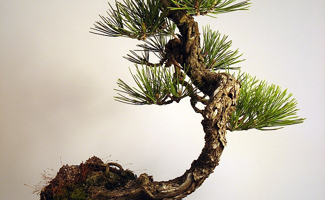 Black Pine Grafted Ponderosa: STYLED