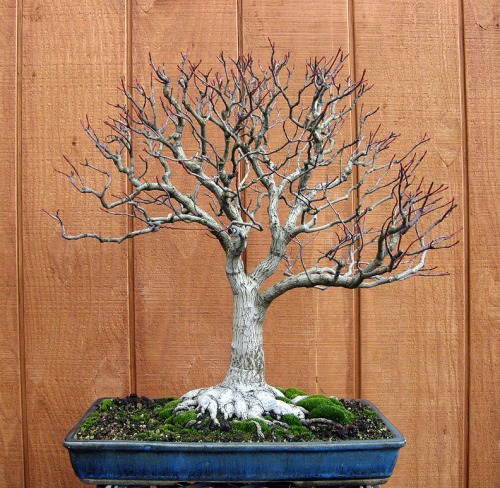 Bonsai tree leafless red maple - Arce rubrum bonsai ...