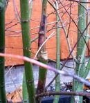 The discolored stem damage is seen above and below the pruning cut (seen as a white stub) where the bacteria likely entered the Japanese maple.