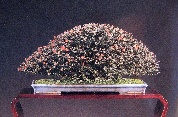 'Chojubai' Quince—Diminutive Jewels
