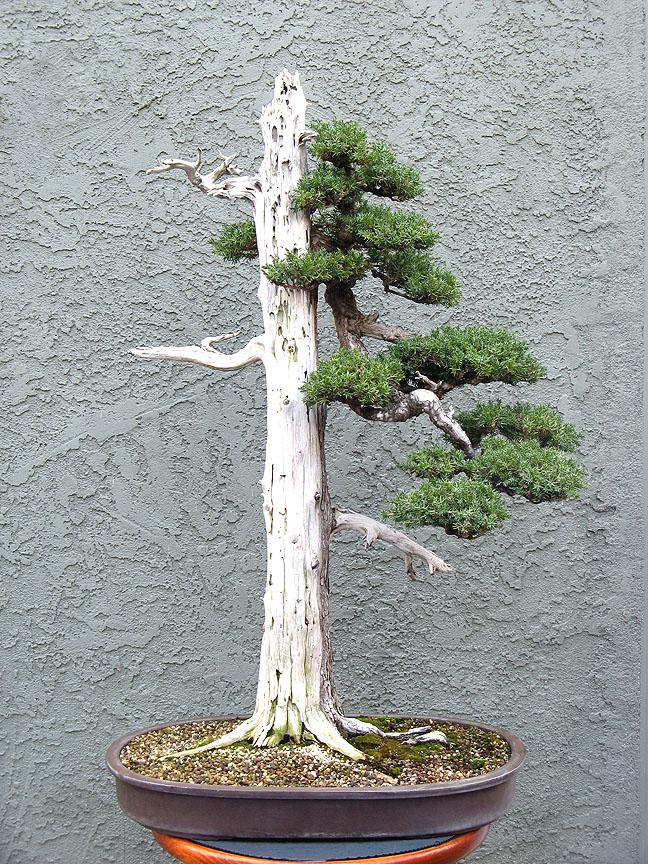 Wiring Spruce Bonsai
