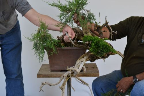 We forgot to take a photo before cutting off the Rocky Mountain juniper foliage on this grafted tree, so helpful hands put them back where they were originally.