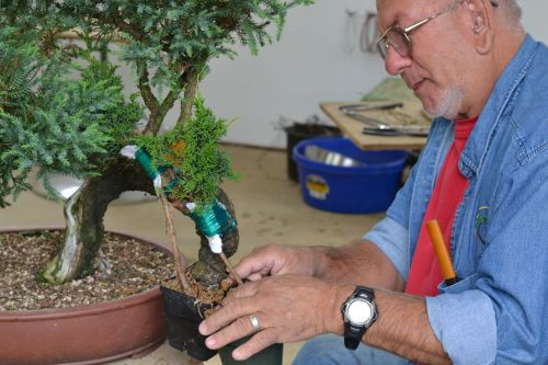 Putting an approach graft on a juniper