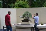 Ryan prepping a spectacular juniper, with Jean-Phillipe, his apprentice