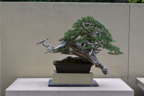 Rocky mountain juniper---Ryan Neil