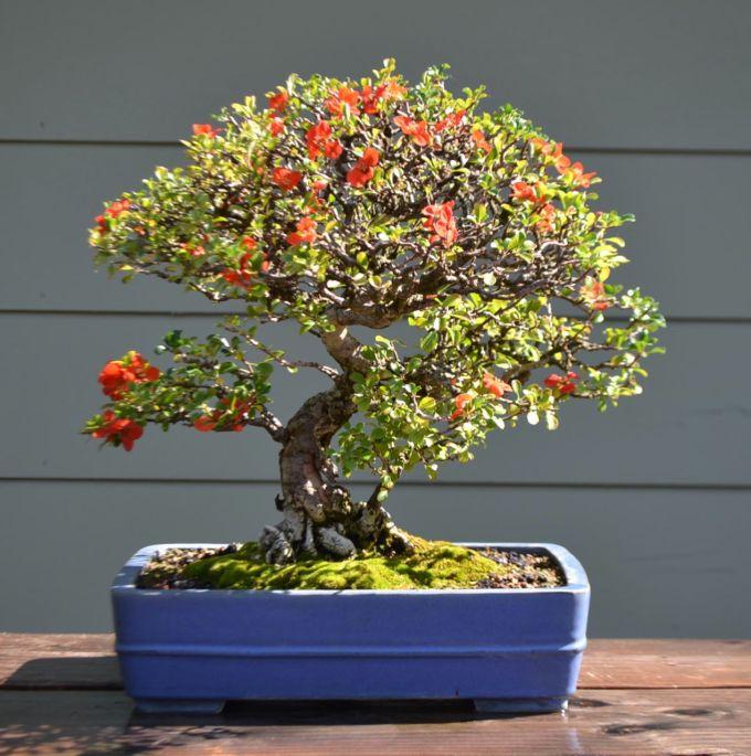 Summer Flowering Chojubai