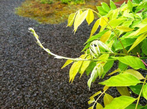 wisteriatendril