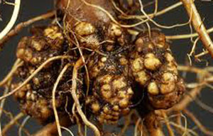 crown-gall2