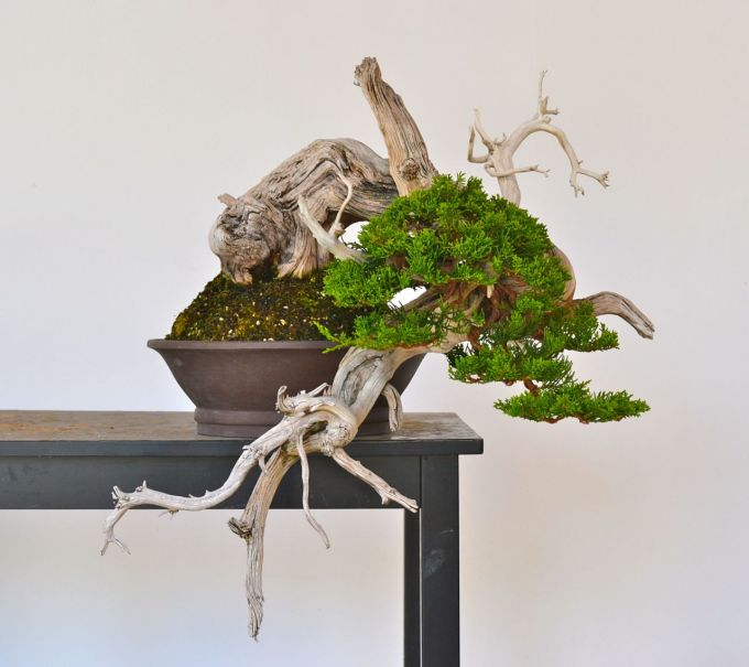 Day of Yikes: Grafted Rocky Mountain Juniper Styling