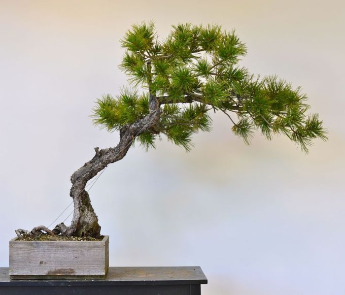 The Helix Root Limber Pine Styling Michael Hagedorn