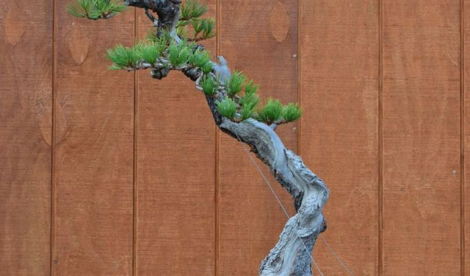 The 'Helix Root' Limber Pine Styling-