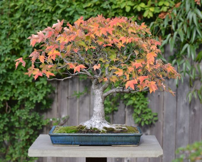 Anne's Red Maple