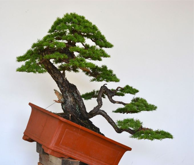 Very Old Mountain Hemlock Styling-