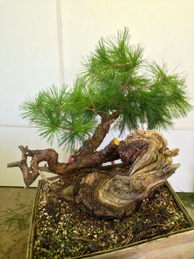 Two Grafting Projects: Juniper and Pine