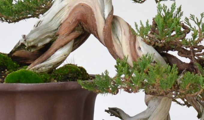 Juniper Live Veins and How They Move…