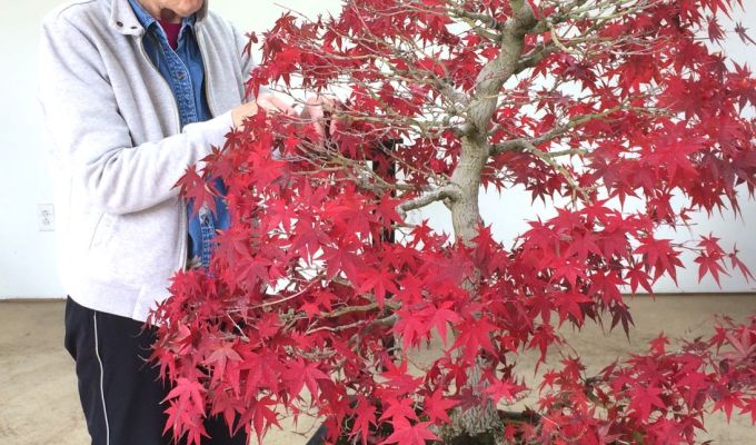 When to Take Off Japanese Maple Leaves in the Fall?