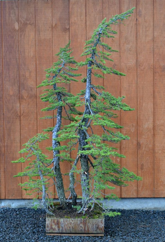 Very Tall Hemlock Clump Styled