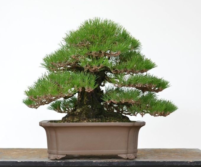 90 Year-Old Black Pine Wired by Bobby Curttright-