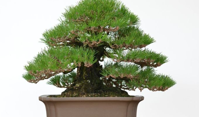 90 Year-Old Black Pine Wired by BobbyCurttright-