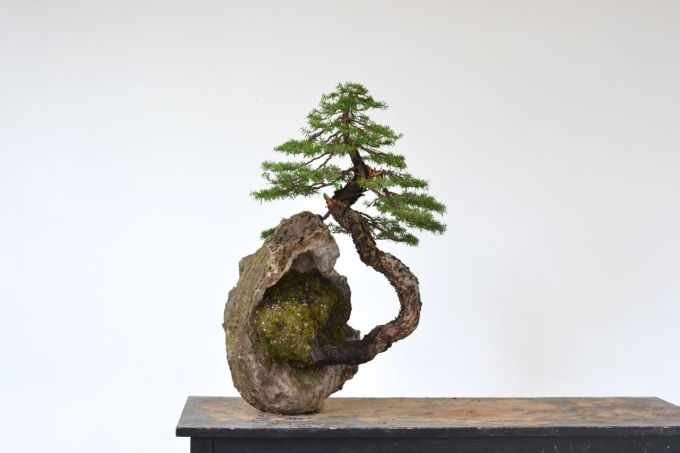 A 'Cliff Bonsai'—Western HemlockStyling