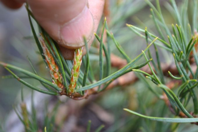 Big Difference Between 'Decandling' and 'Breaking' Pine Shoots…
