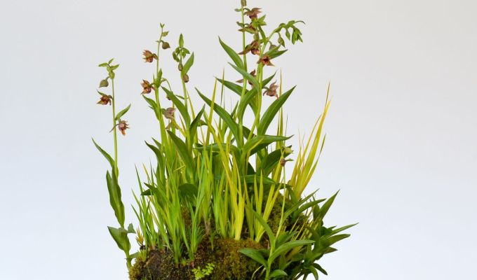 Noteworthy Accent Plant: GiantHelleborine