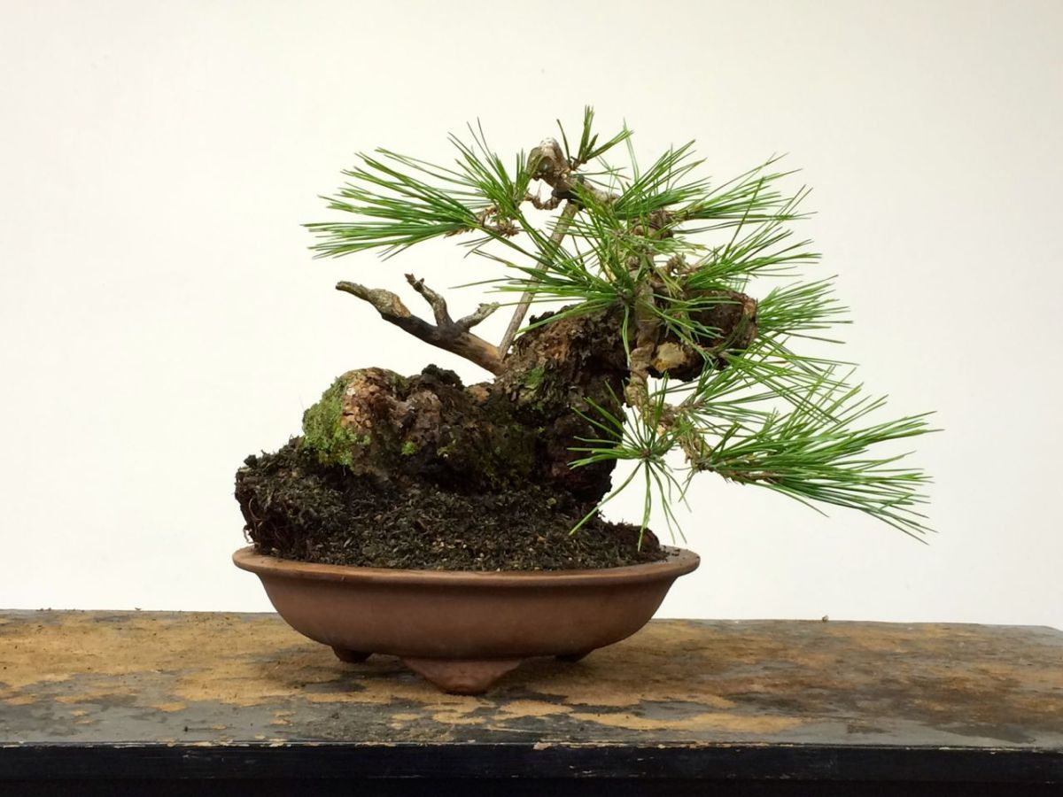 Ponderosa Pine Michael Hagedorn