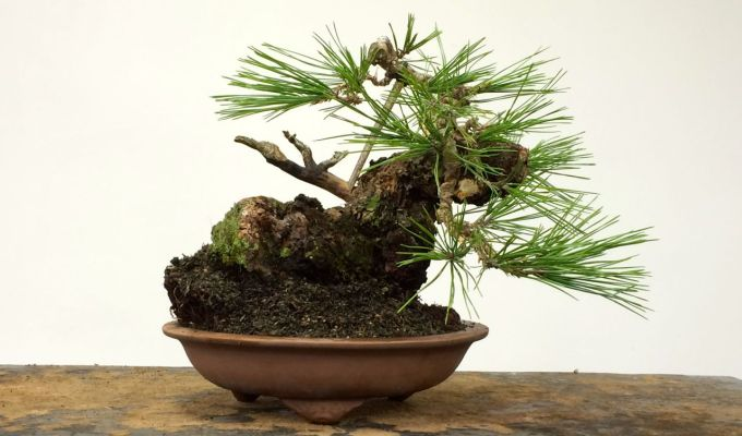 Black Pine / Ponderosa Frankenstein Bonsai