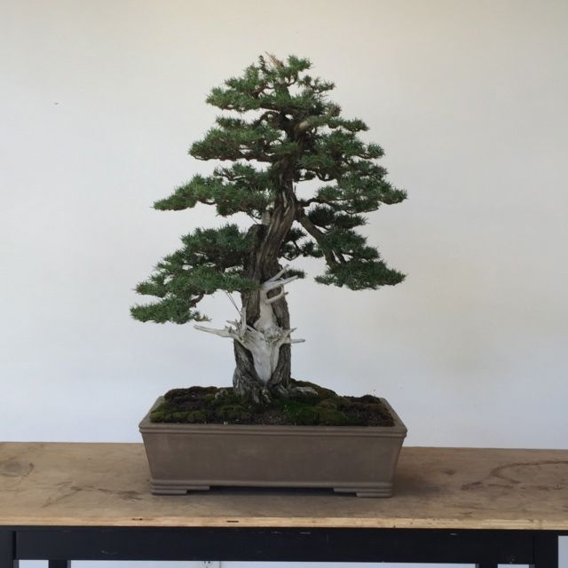 Needle Juniper Restyling-