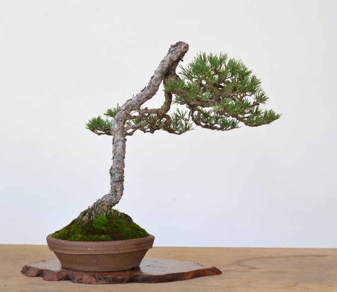 History of a Bunjin Scots Pine