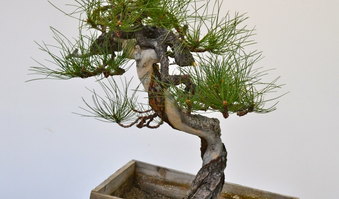 A bunjin Ponderosa pine gets a new look-