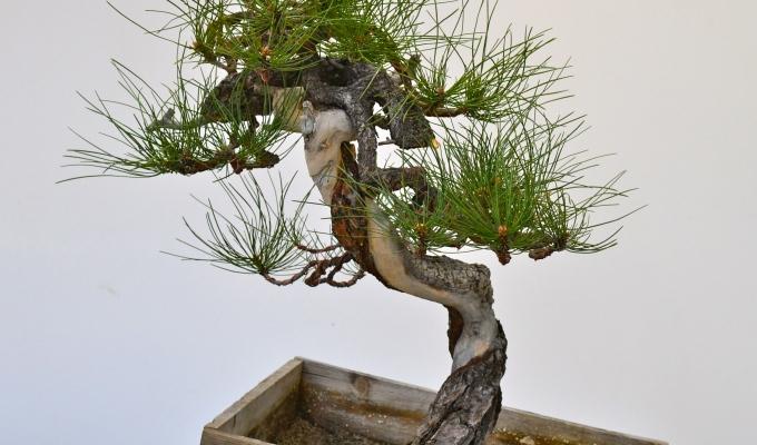 A bunjin Ponderosa pine gets a newlook-