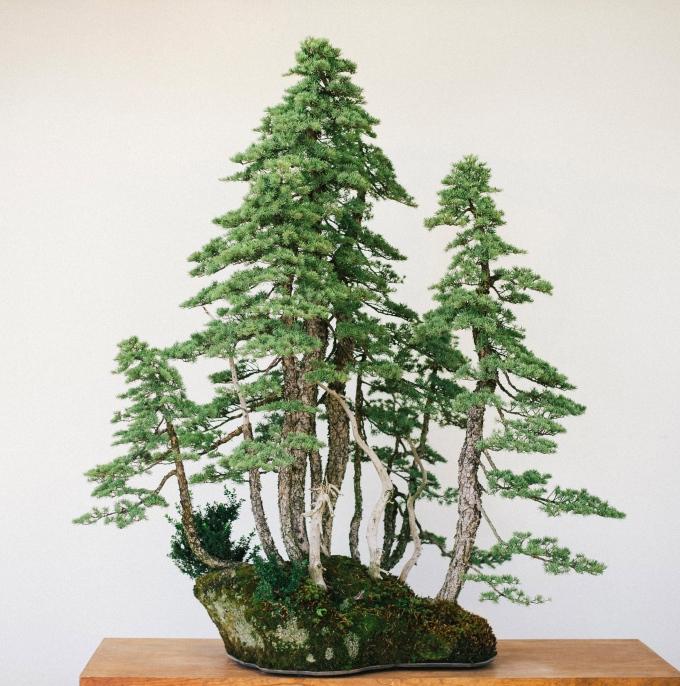 Very Large Mtn. HemlockClump-