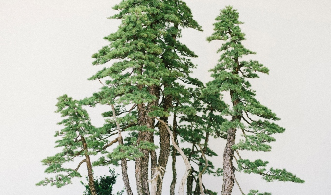 Very Large Mtn. Hemlock Clump-