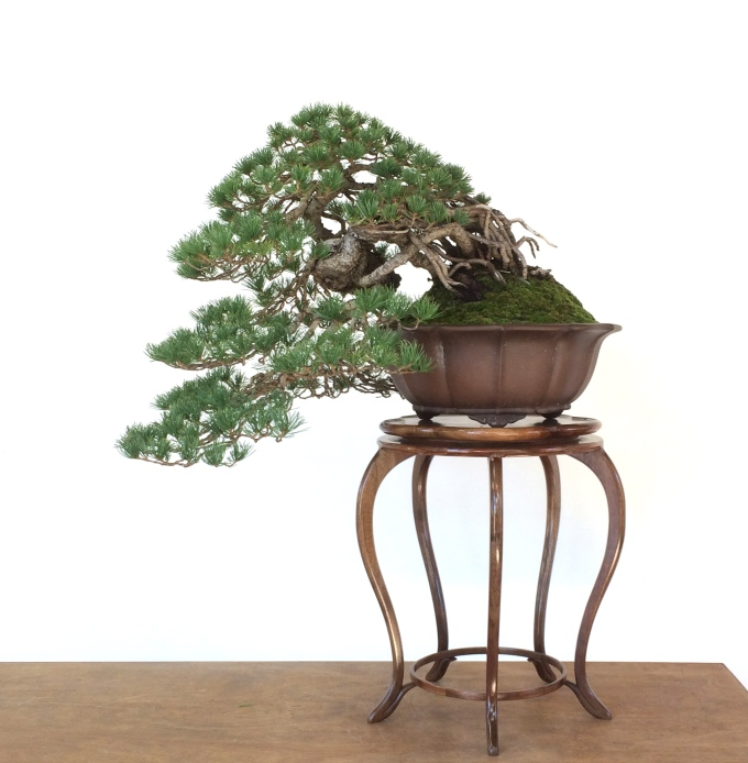 Revisiting a Raised-Root Cascade White Pine-