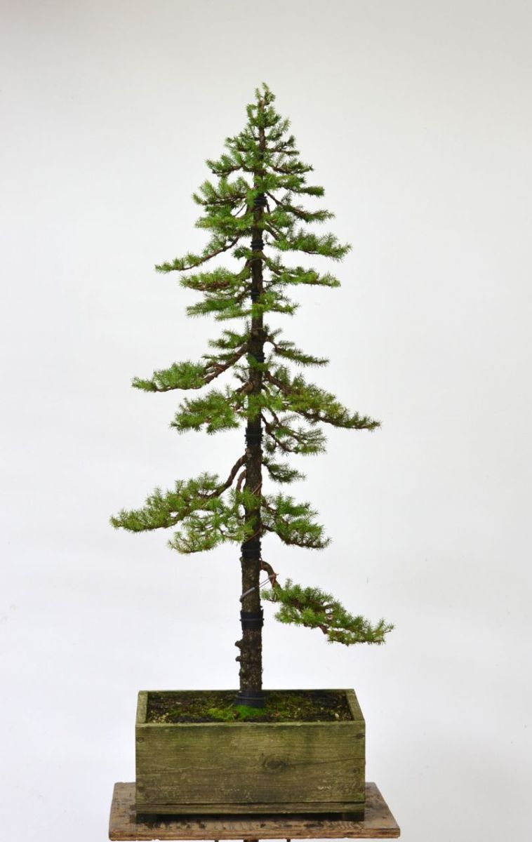 Ezo Spruce Formal Upright Styling Michael Hagedorn Wiring Yew Bonsai