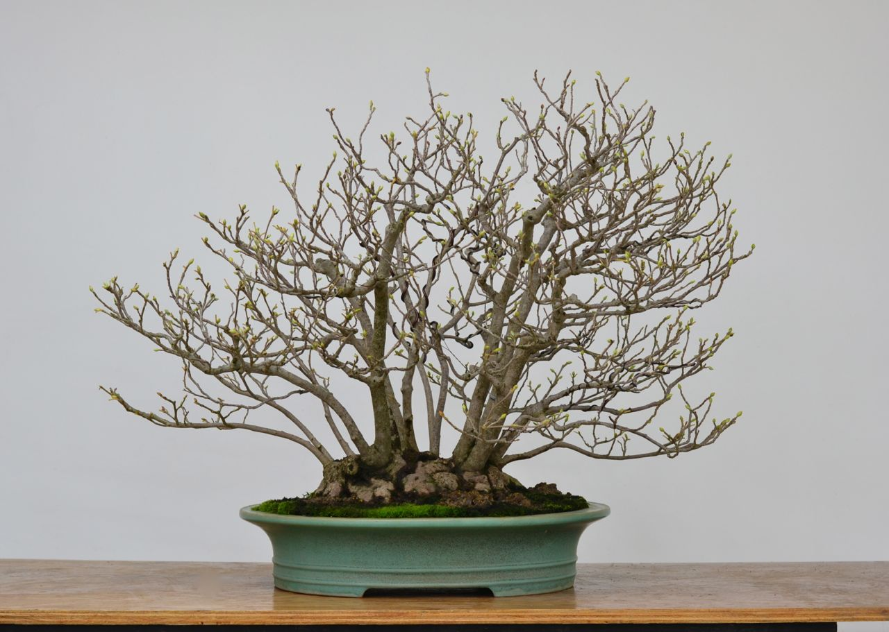 Bonsai Blog Of Sndor Papp MY FORSYTHIA SHOHIN AFTER REPOTTING