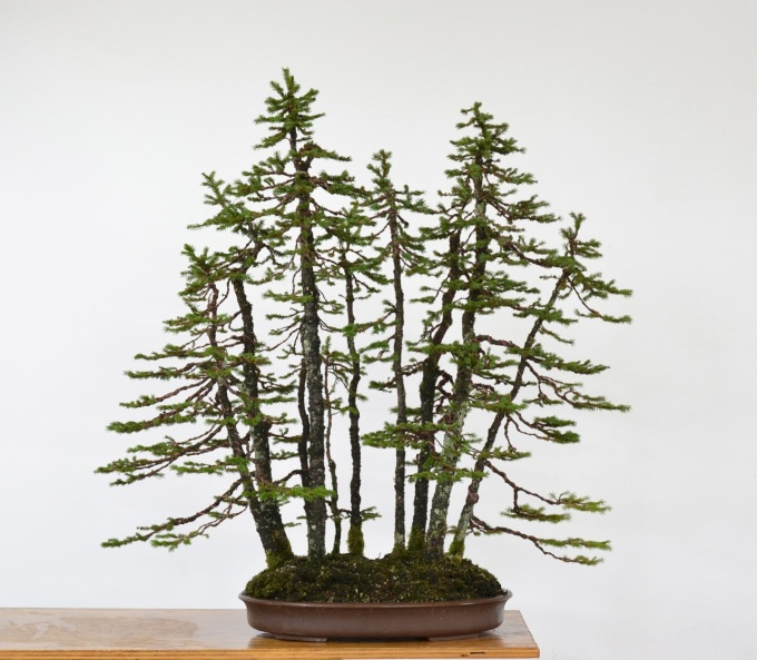 Ezo Spruce Forest Styling-