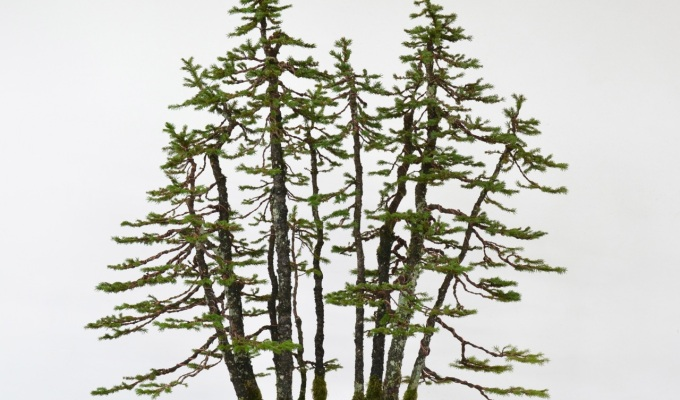 Ezo Spruce ForestStyling-