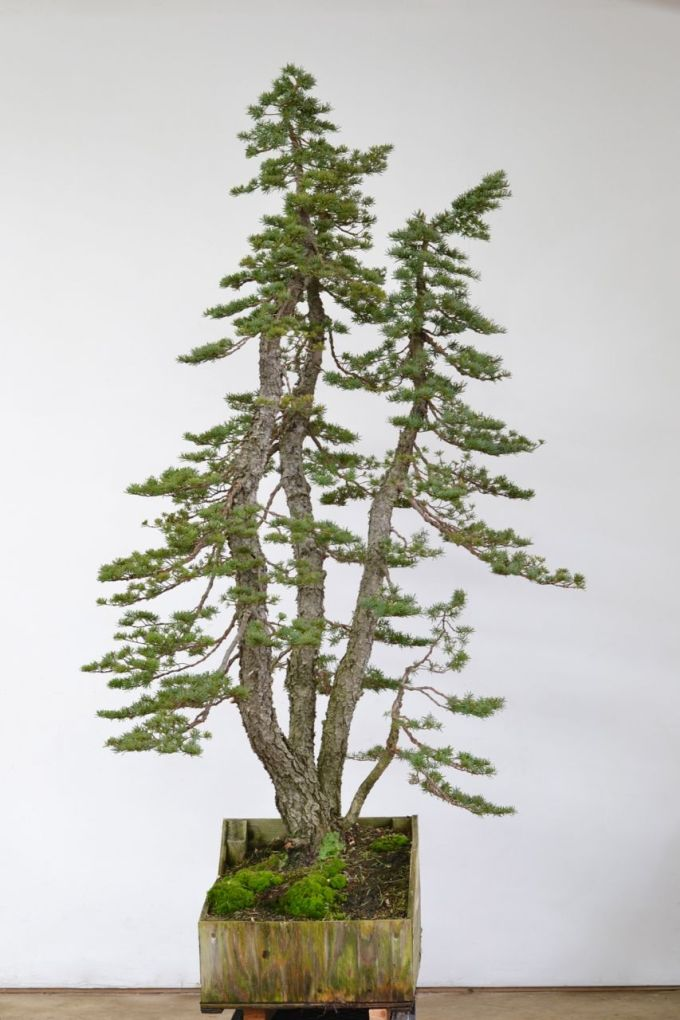 Hemlock Clump First Styling-