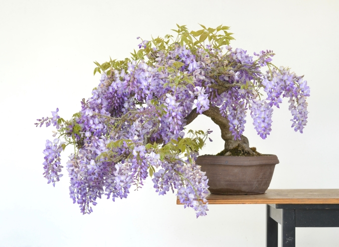 Blooming Springtime—Wisteria and Iris